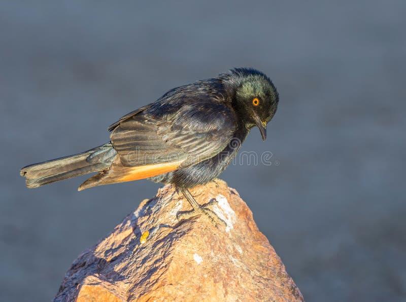 Étourneau Pâle-à ailes par Africain photo stock