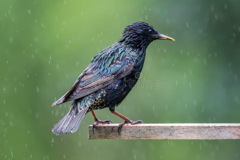 Étourneau sur une maison d'oiseau en été images stock