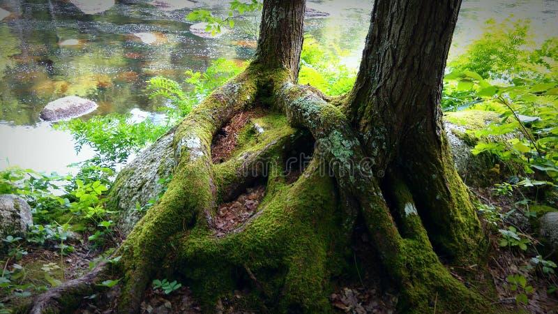 Étreindre de deux arbres photos stock