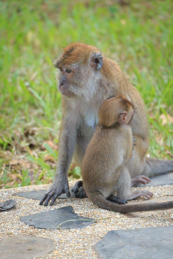 Étreindre de singe de mère photographie stock