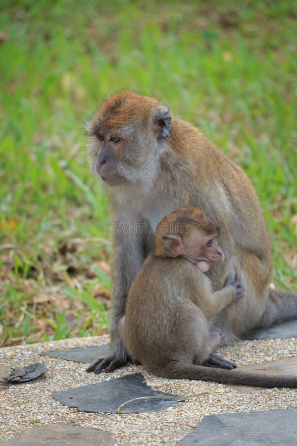 Étreindre de singe de mère photos stock
