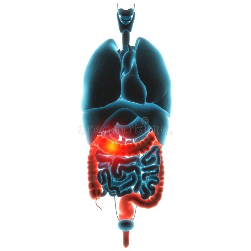 Étripe la douleur d'organe illustration stock
