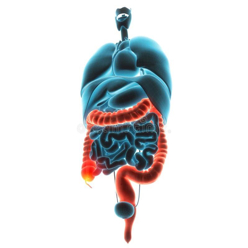Étripe la douleur d'organe illustration de vecteur