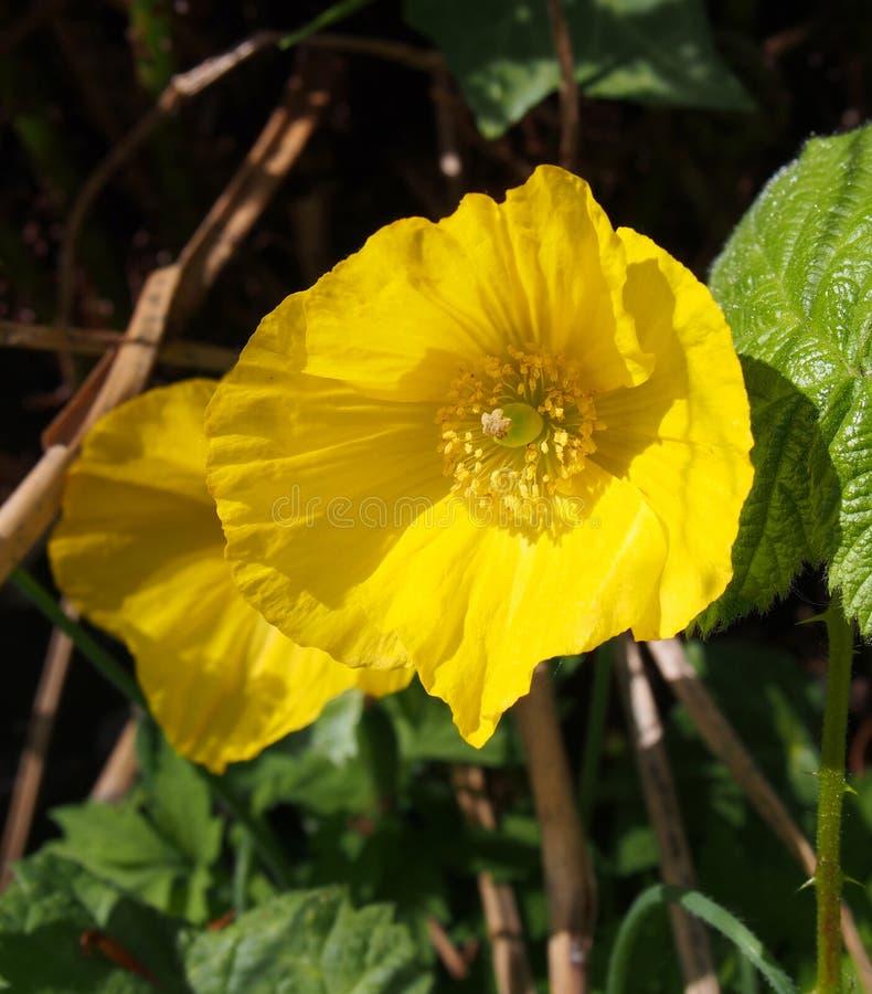 étroit de deux pavots de gallois jaunes lumineux avec la lumière du soleil verte environnante de feuilles au printemps images stock