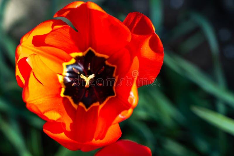 étroit des tulipes rouges au printemps, Francfort, Allemagne photos stock
