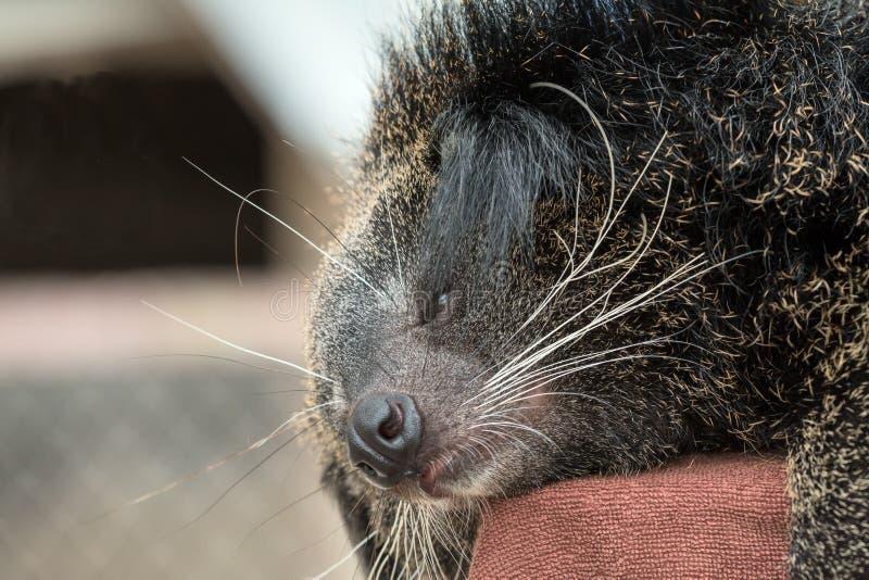 Étroit du visage de binturong dormant sur le poteau rouge image libre de droits