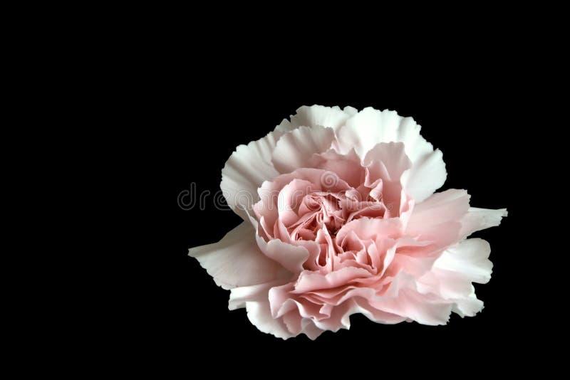 Étroitement vers le haut d'un gillyflower rose image libre de droits