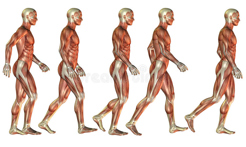 Étude masculine courante de muscle illustration de vecteur