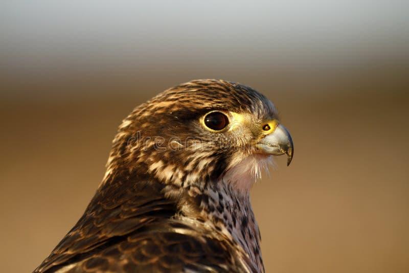 Étude principale d'un faucon de la femelle Gyr/Saker photographie stock