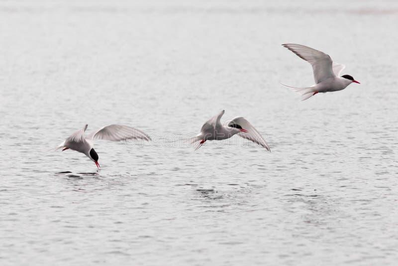 Étude stroboscopique de sterne arctique de vol au-dessus de lac photographie stock libre de droits