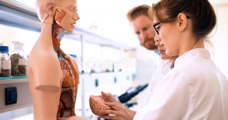 Étudiants de médecine examinant le modèle anatomique dans la salle de classe photos libres de droits