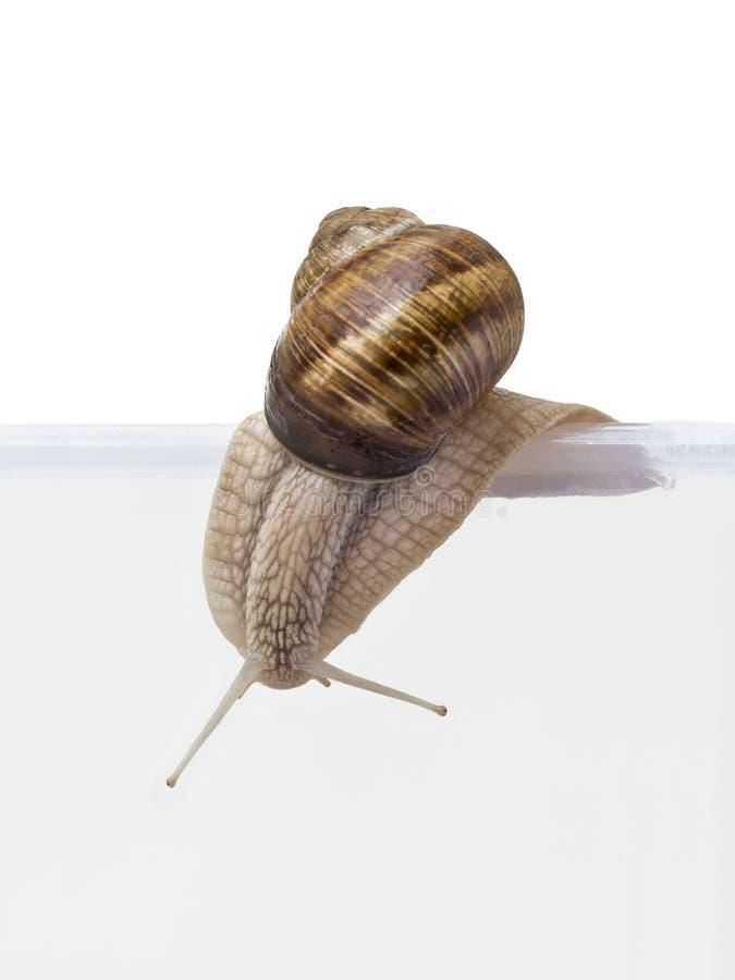 Évasion ! Extinction d'escargot de Bourgogne d'un transparent  photos libres de droits