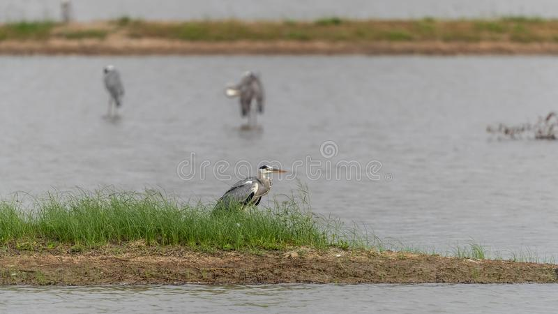 Être perché cinerea de Gray Heron Ardea dans l'étang images stock
