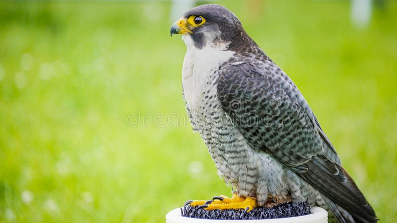 Être perché de peregrinus de Peregrine Falcon Falco de captif photos libres de droits