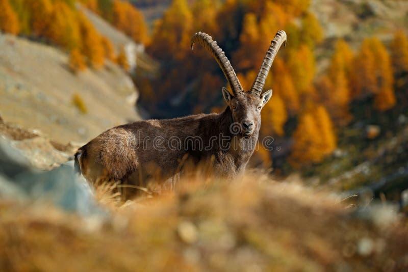Íbex alpino, íbex do íbex da cabra, com a árvore de larício alaranjada do outono no fundo, parque nacional Gran Paradiso, Itália foto de stock royalty free