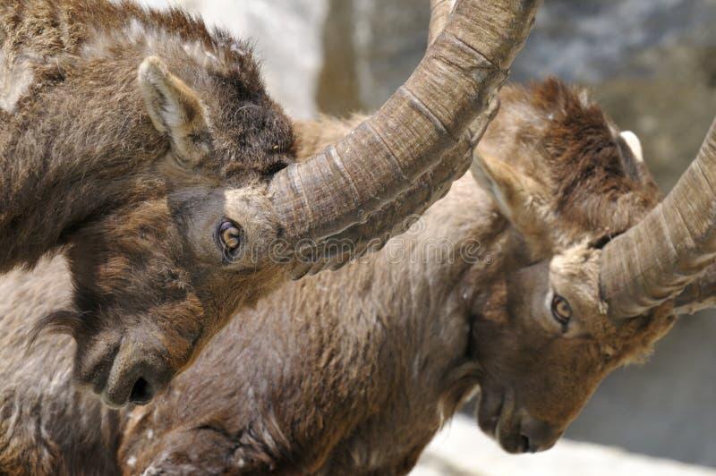 Íbex alpino, íbex do capra imagens de stock royalty free