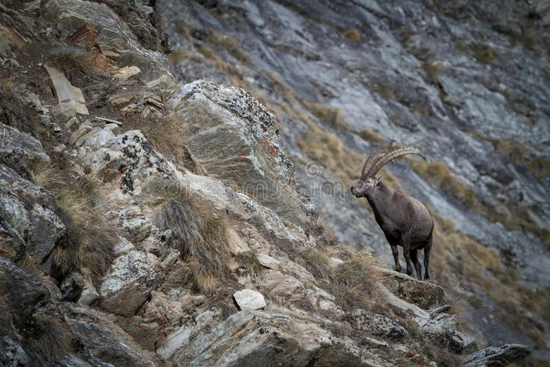 Íbex alpino, íbex da cabra, com as rochas no fundo, parque nacional Gran Paradiso, Itália Outono na montanha fotografia de stock royalty free