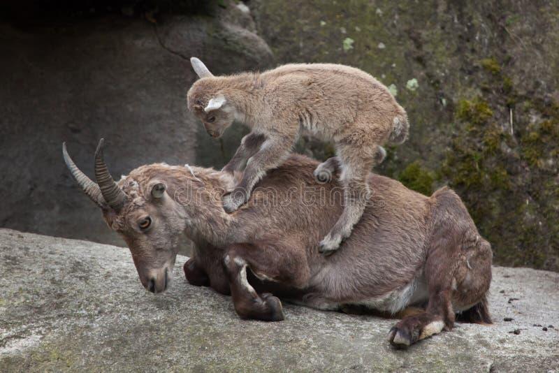 Íbex alpino do íbex da cabra do íbex fotografia de stock