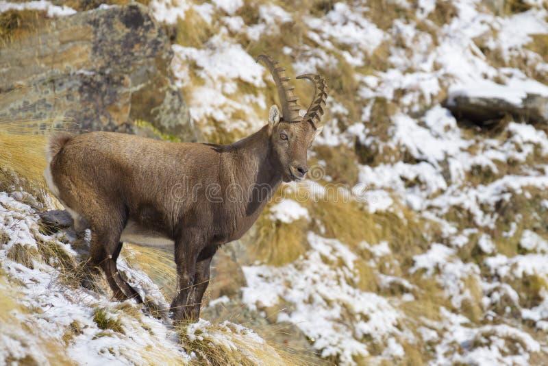 Íbex alpino no inverno, íbex da cabra, parque nacional de Gran Paradiso, Itália foto de stock
