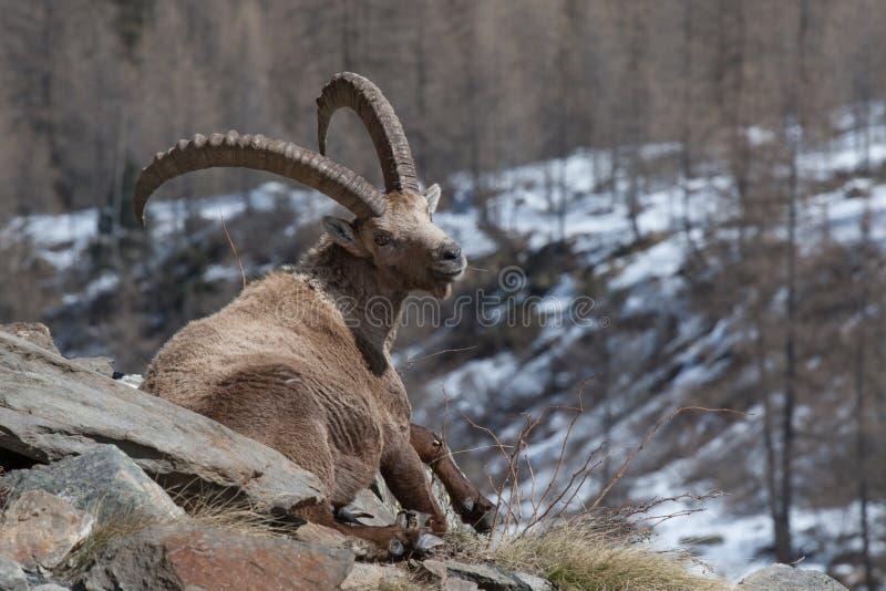 Íbex alpino velho de assento em cumes italianos fotografia de stock