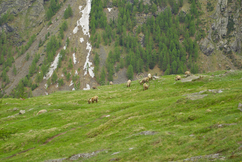 Íbex da cabra de Steinbocks no vale de Cogne, Itália fotos de stock