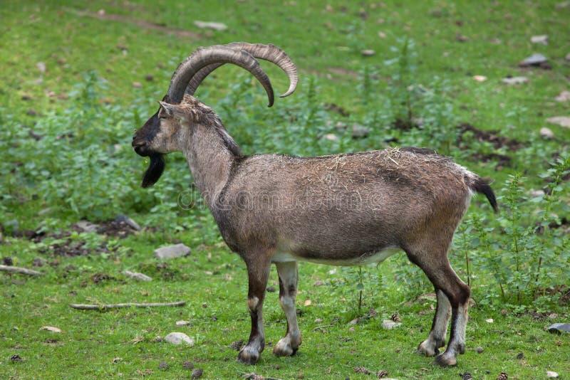 Íbex de Bezoar (aegagrus do aegagrus da cabra) fotografia de stock