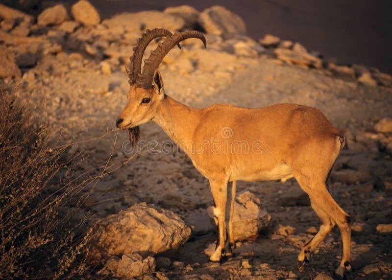 Download Íbex de Nubian foto de stock. Imagem de selvagem, israel - 10053076