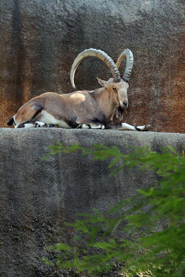 Íbex de Nubian fotografia de stock