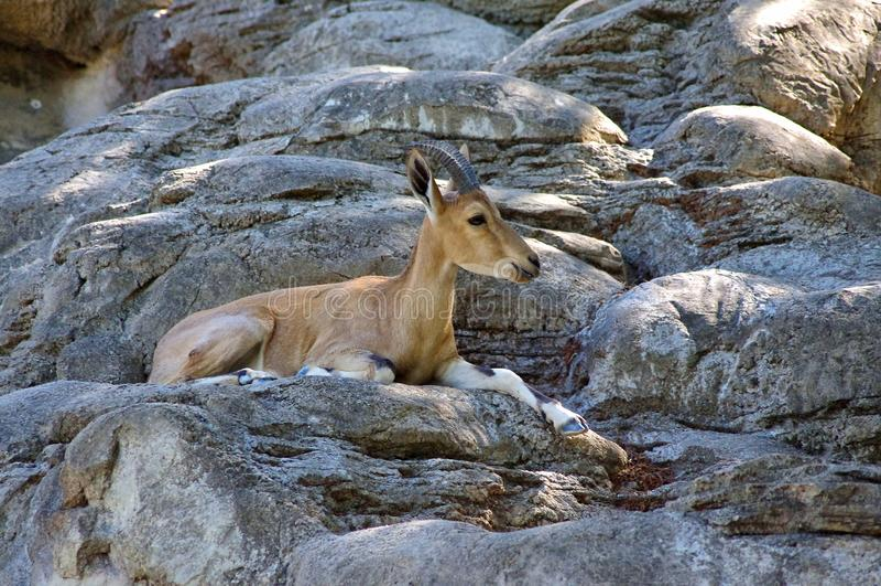 Íbex de Nubian na conserva dos animais selvagens foto de stock royalty free