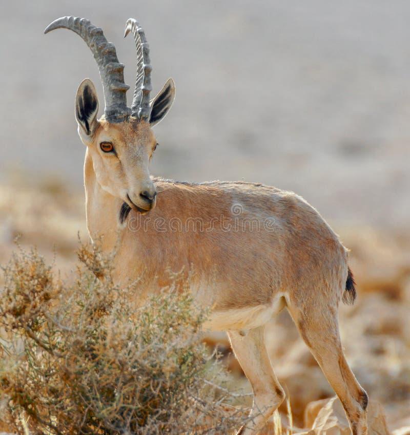 Íbex de Nubian (nubiana do Capra) fotografia de stock royalty free