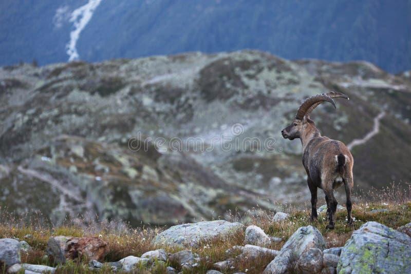 Íbex do Capra foto de stock