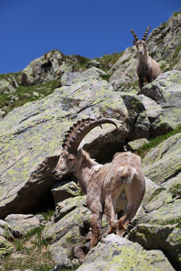 Íbex do Capra foto de stock royalty free