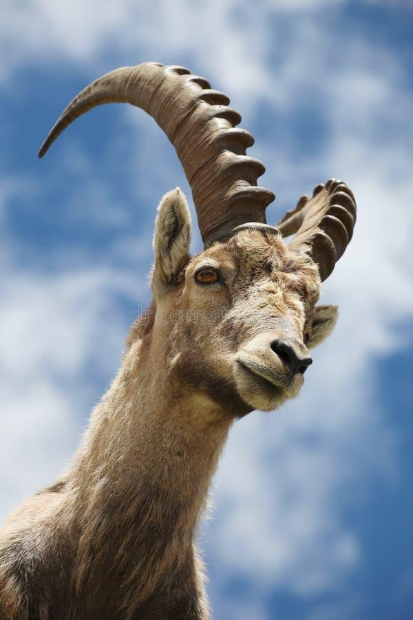 Íbex do Capra fotografia de stock