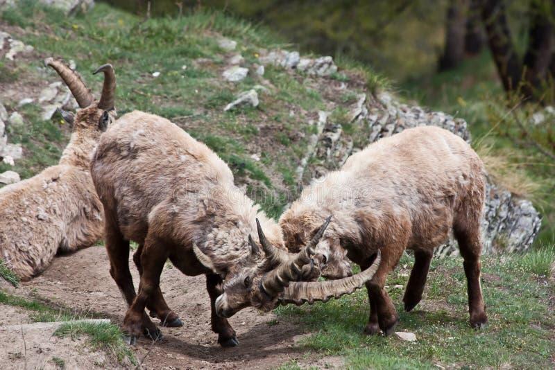 Íbex do Capra - alpes italianos imagens de stock
