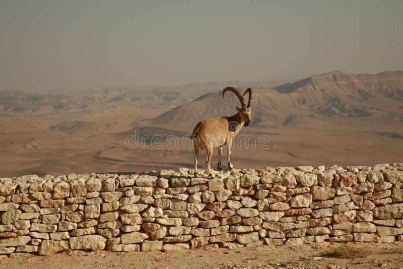 Íbex em uma parede imagens de stock royalty free