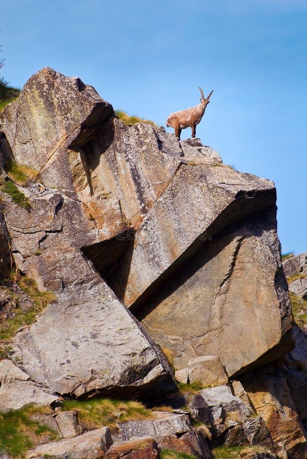 Íbex em uma rocha em animais selvagens da fauna do parque nacional de Gran Paradiso, montanhas dos cumes de Itália fotos de stock