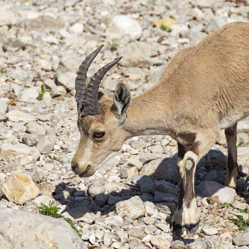 Íbex masculino novo que pasta em Wildflowers em Nahal David fotos de stock