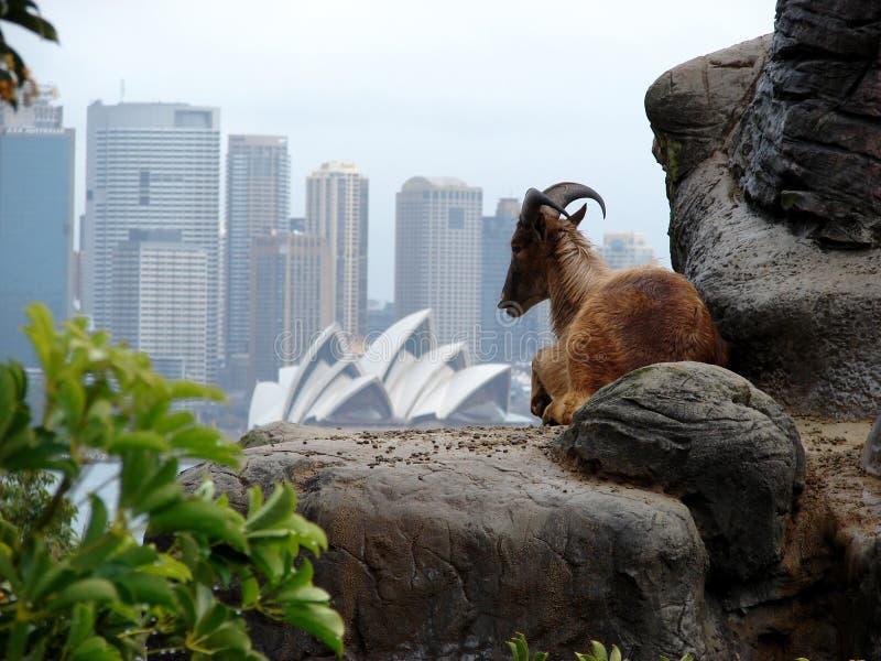 Íbex na skyline de Sydney fotografia de stock