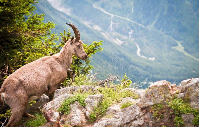 Íbex selvagem do Capra da cabra de montanha fotos de stock royalty free