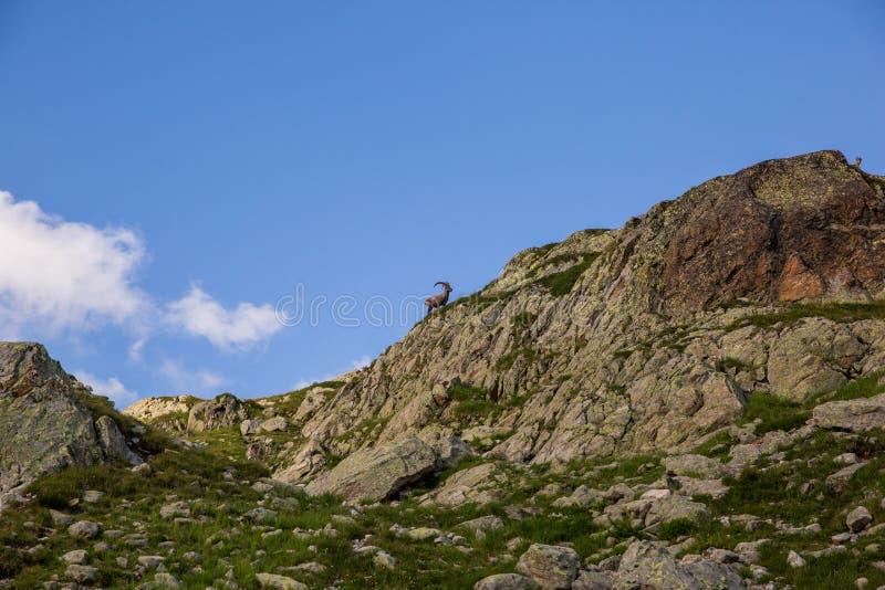 Íbex selvagem que segue um íbex fêmea em Sunny Summer Day imagens de stock royalty free