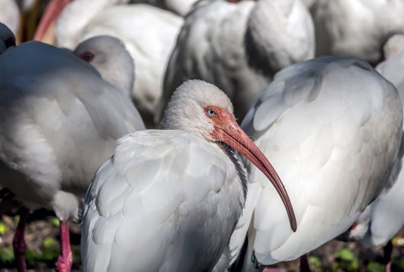 Íbis brancos americanos, albu de Eudocimus imagens de stock