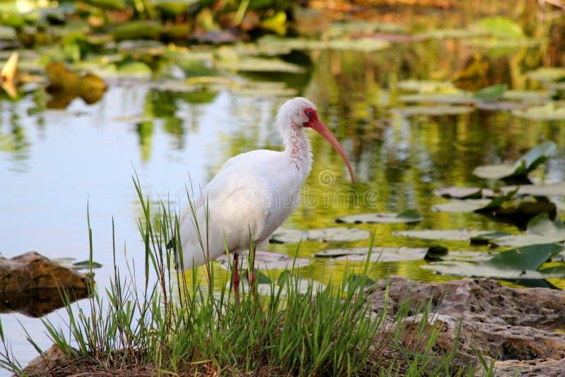 Íbis brancos americanos que sentam-se na costa do rio - parque nacional dos marismas - Florida - EUA imagens de stock royalty free
