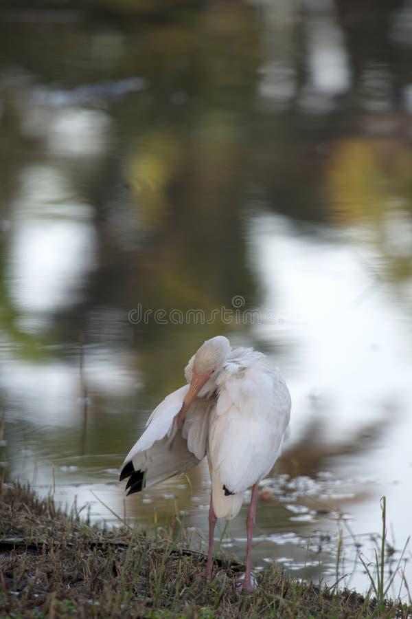 Íbis brancos que enfeitam-se Wing At The Edge de uma lagoa tropical com reflexões fotografia de stock royalty free