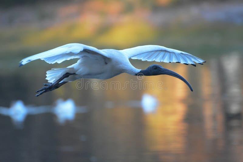 Íbis brancos que voam sobre o lago imagens de stock