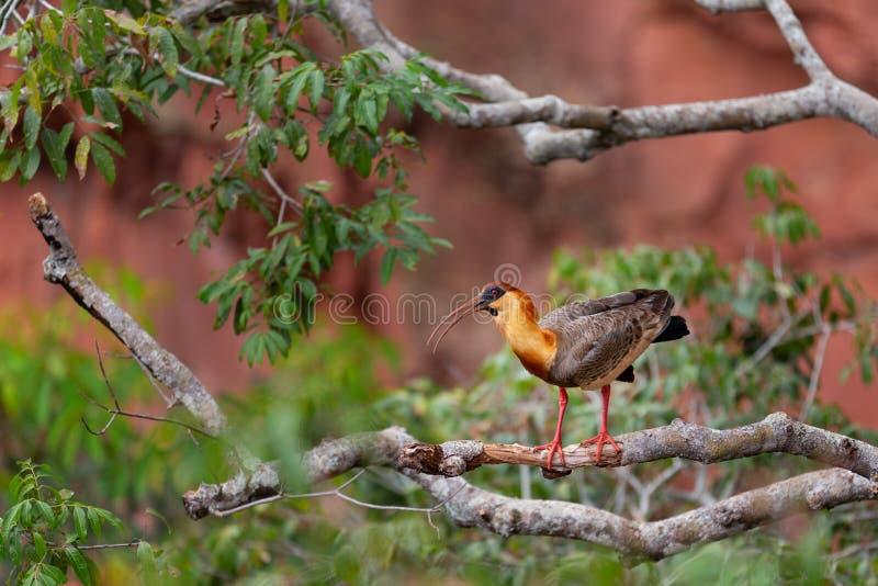 Íbis necked amarelos na árvore do ramo fotografia de stock royalty free