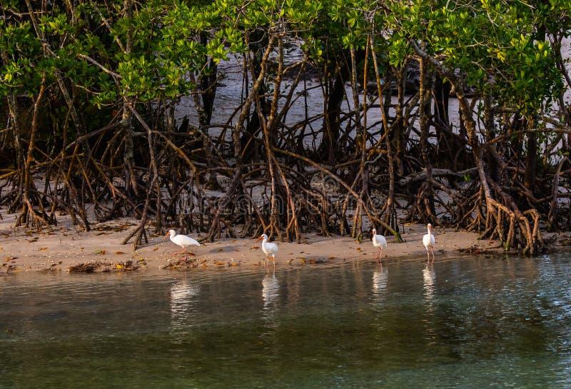 Íbis que refletem em uma lagoa de Florida imagens de stock royalty free