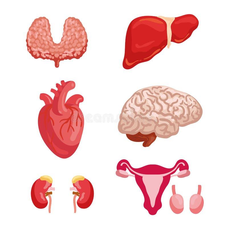 Ícone da anatomia do órgão humano para o projeto da medicina ilustração do vetor