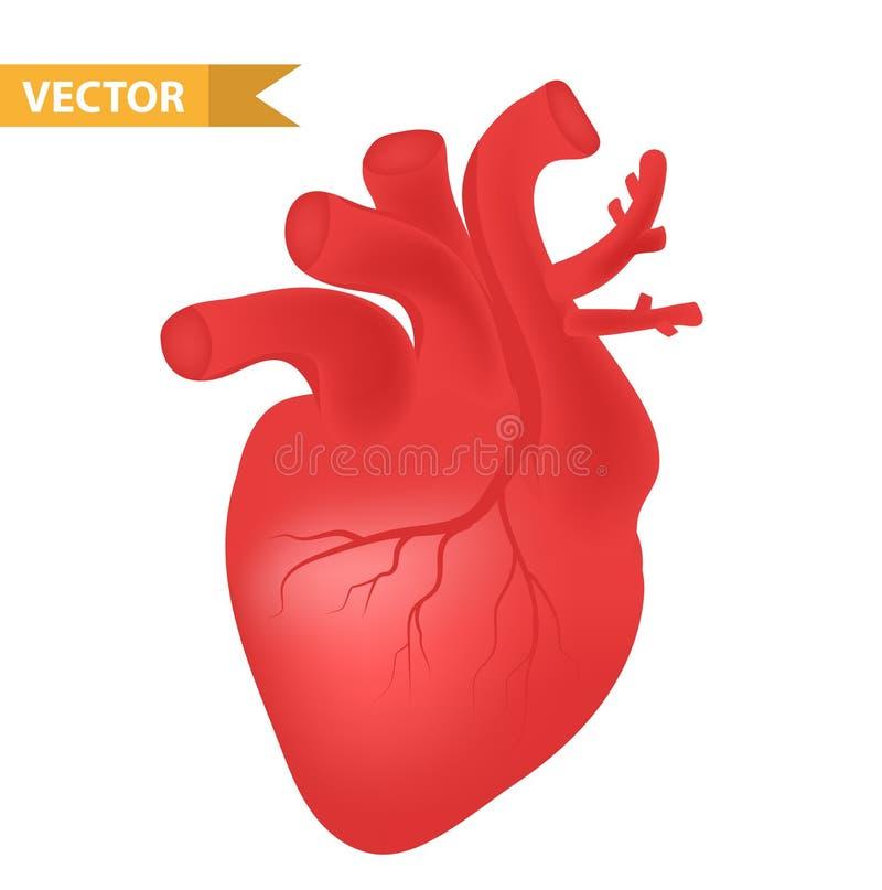 Ícone humano do coração, estilo 3d realístico Símbolo dos órgãos internos Anatomia, cardiologia, conceito Isolado no fundo branco ilustração stock