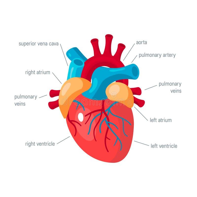 Ícone humano do vetor do coração no estilo liso ilustração stock