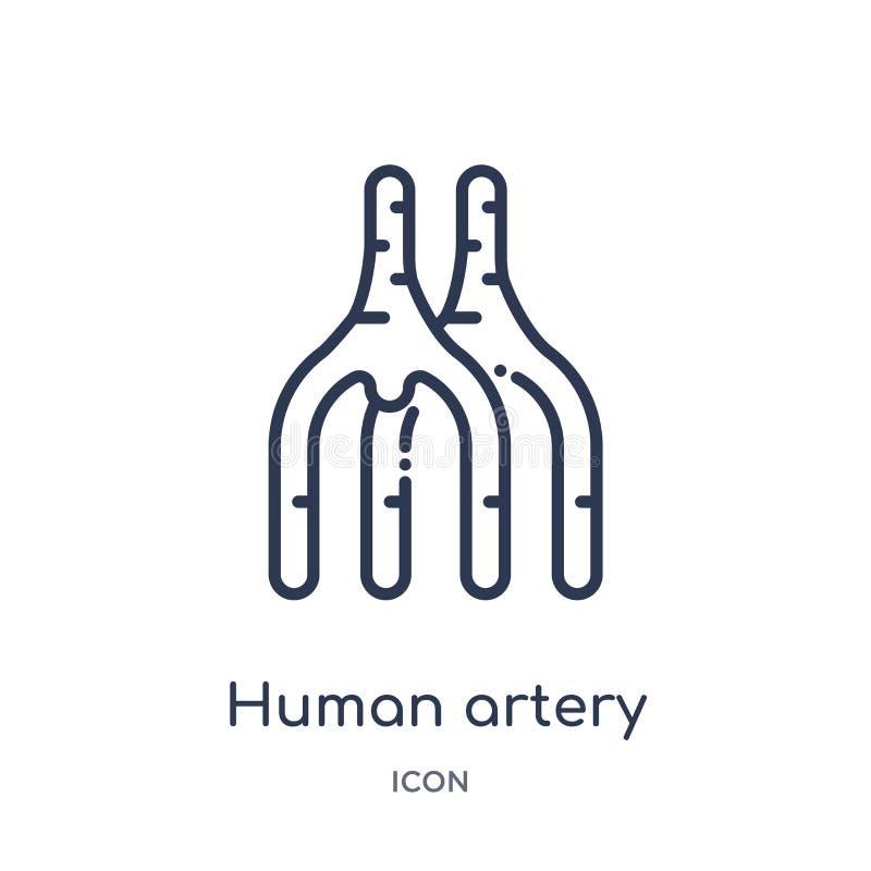 Ícone humano linear da artéria da coleção humana do esboço das partes do corpo Linha fina ícone humano da artéria isolado no fund ilustração royalty free